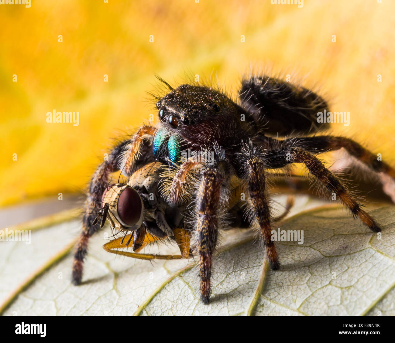 black jumping spider with shiny green mouth eats fly with red eyes on leaf