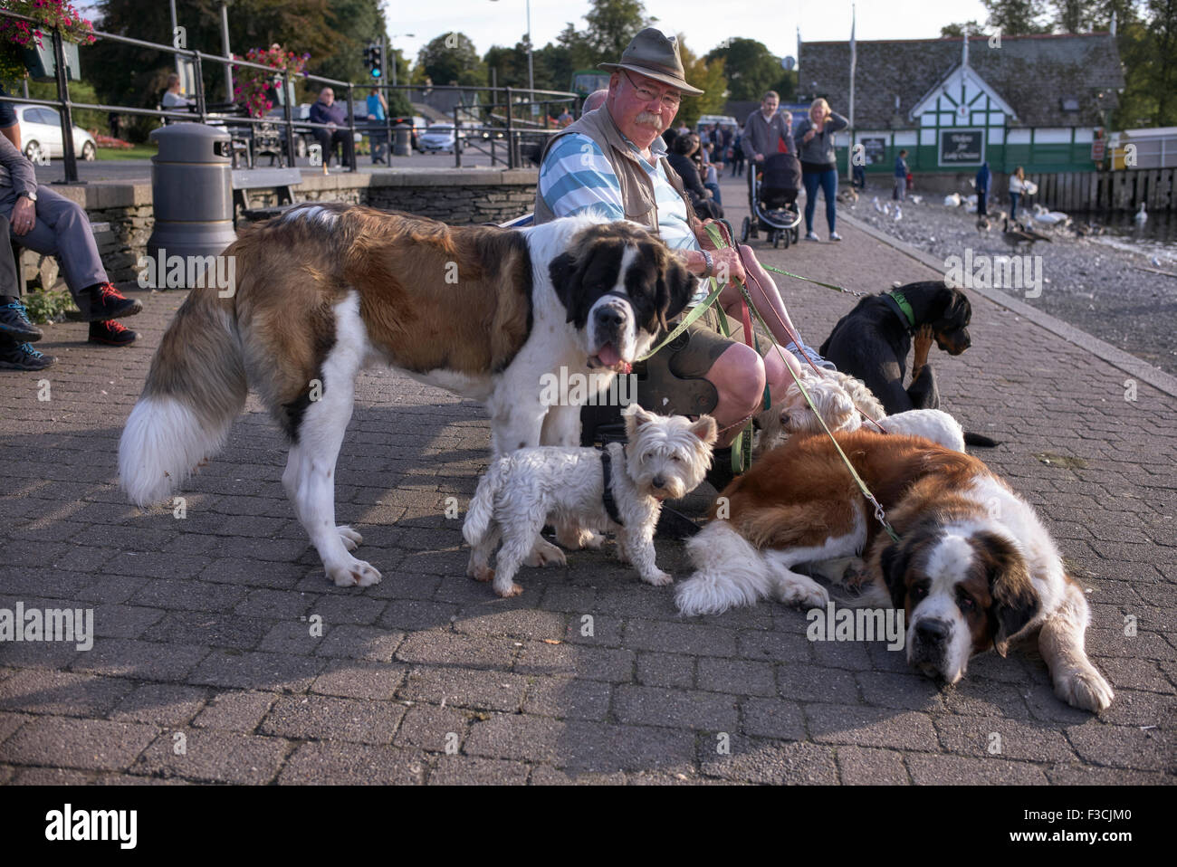 Dog rescue centre owners walking a collection of dogs at Bowness