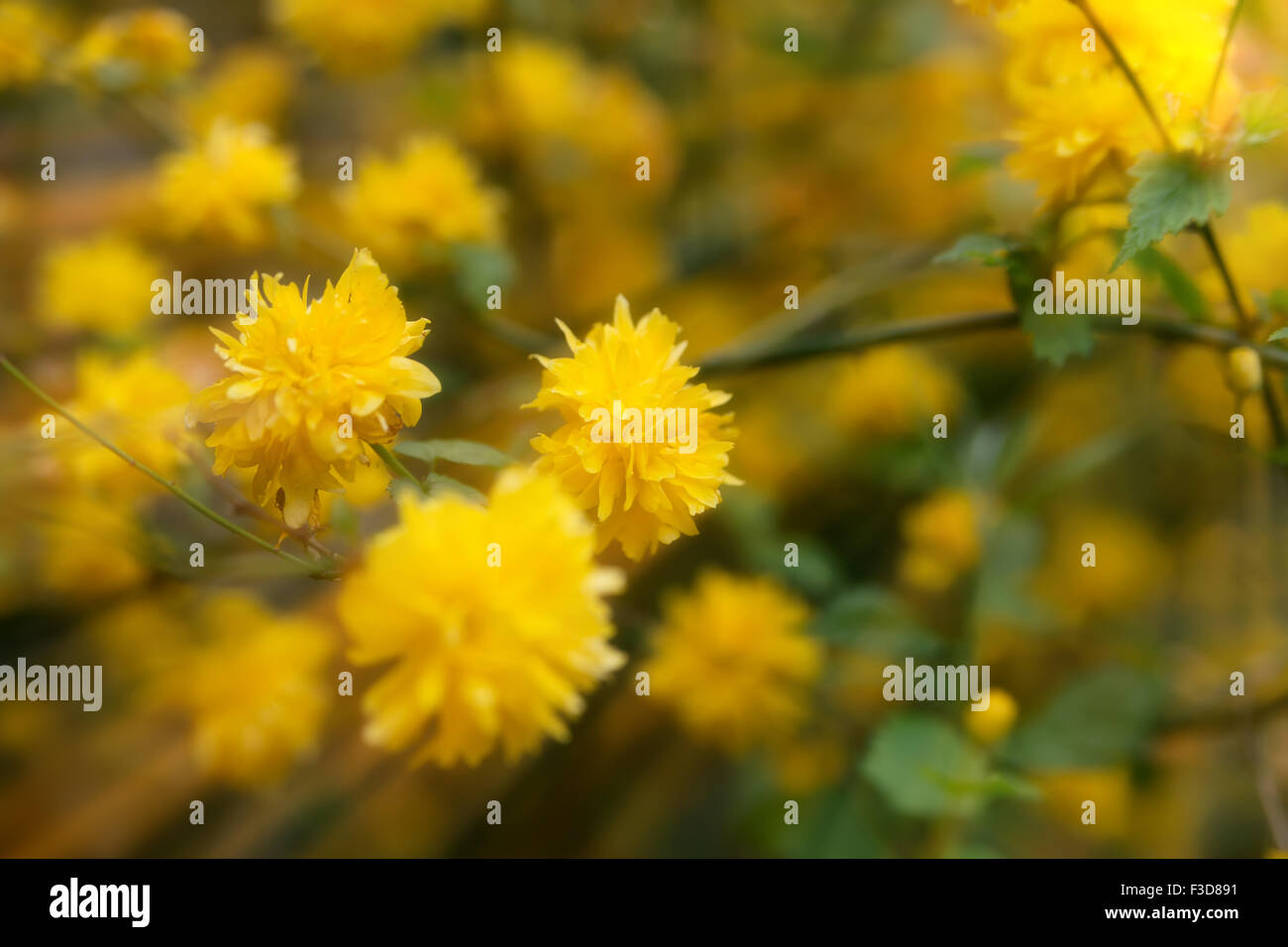 Beautiful yellow flowers blossoming in spring time under sunshine beautiful yellow flowers blossoming in spring time under sunshine natural background ireland mightylinksfo Images