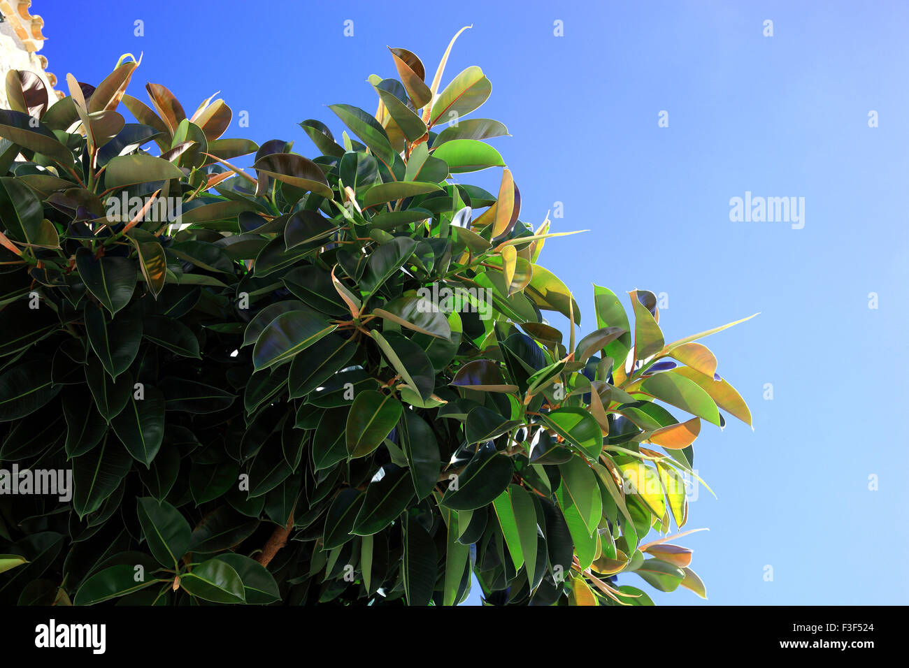 Rubber Fig, Leaves, Ficus Elastica