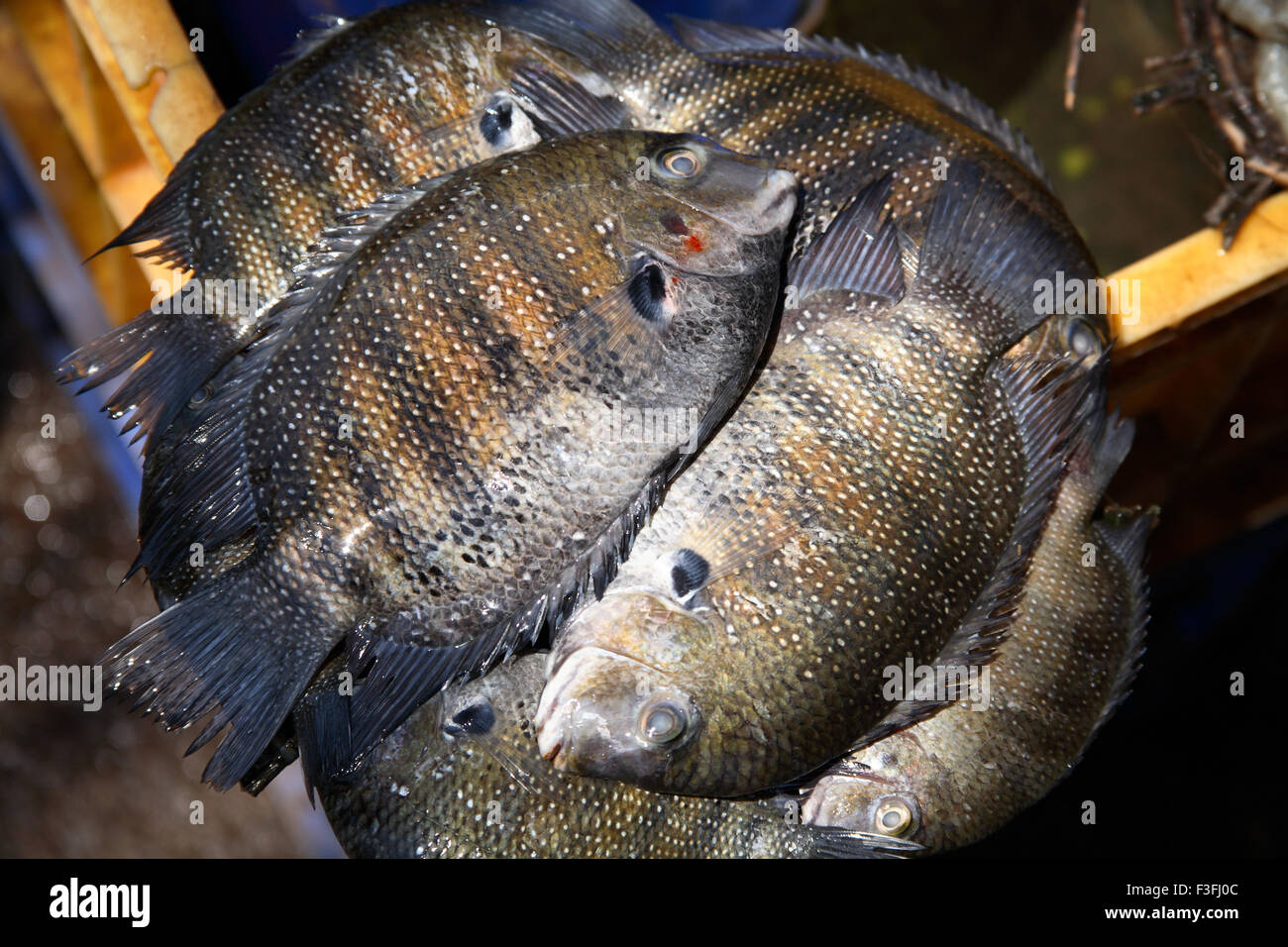 Sweet Water Fish Or Curry Mean Fish River Water Or Fresh