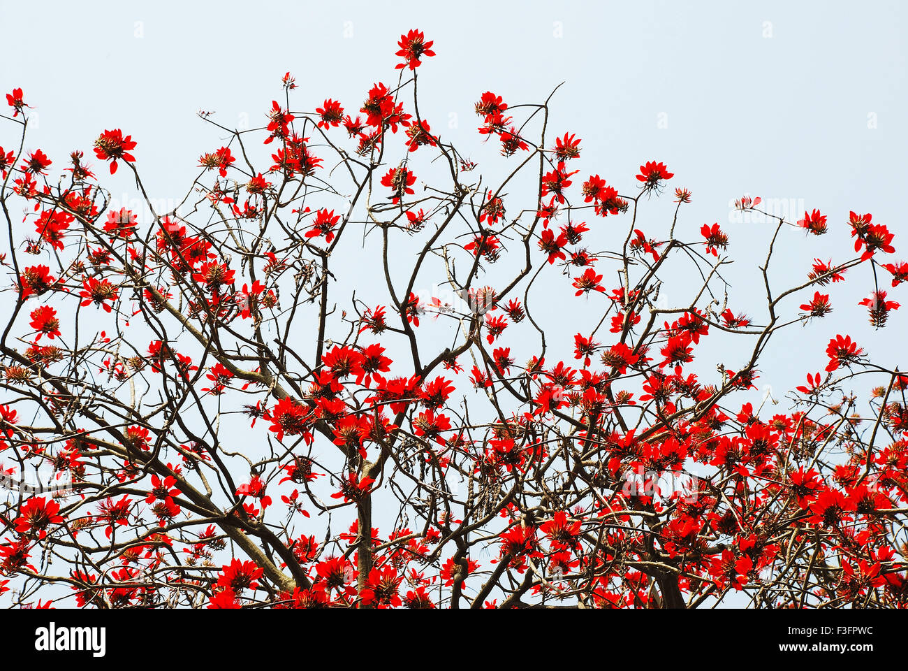 red flowers blooming in spring season india stock photo royalty
