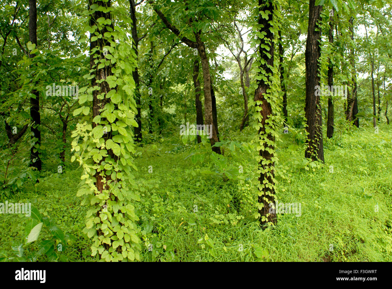 in monsoon climbing plants climb on tree trunks in the forest asangaon road district thane maharashtra india - Climbing Plants
