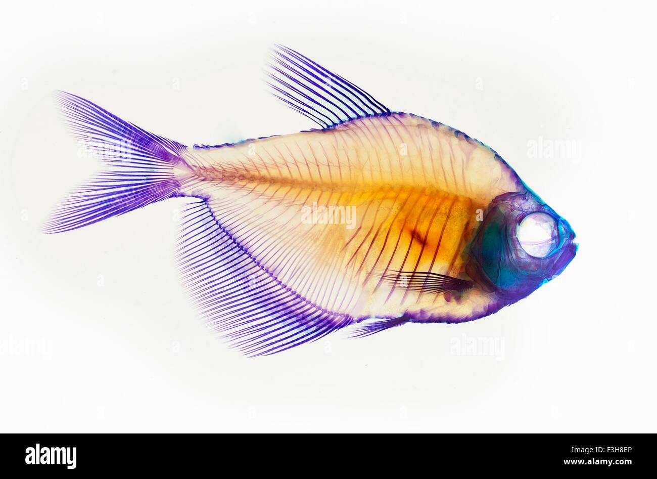 Alizarin red bone stain anatomical fish skeleton preparation of a white finned tetra stock image