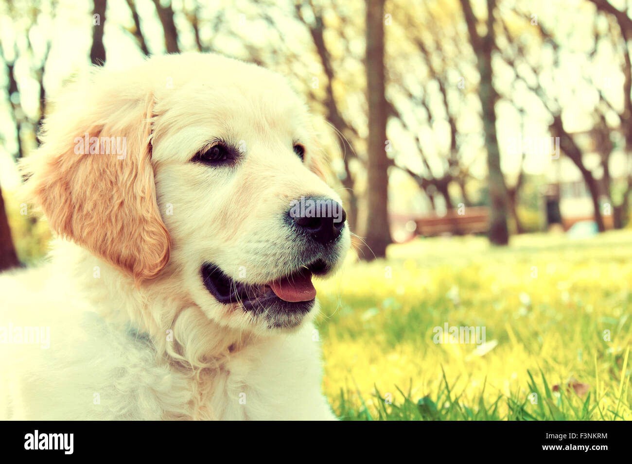 Cute golden retriever puppy in the park at summer Vintage