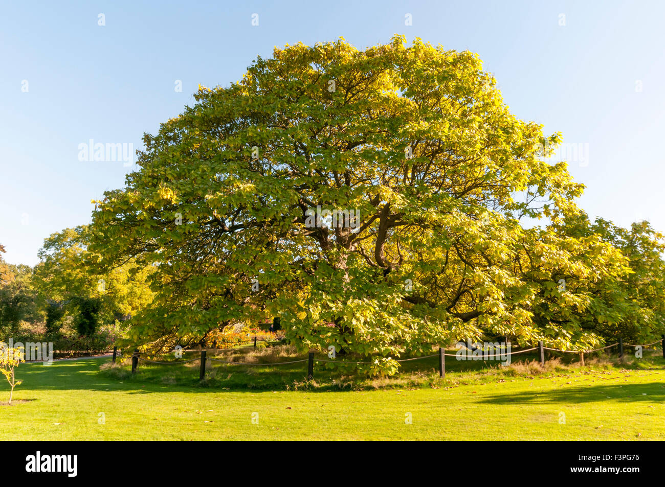 the indian bean tree catalpa bignonioides at the rhs. Black Bedroom Furniture Sets. Home Design Ideas
