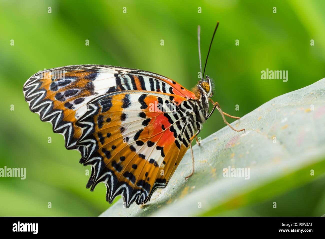 Macro Of Beautiful Monarch Butterfly In Garden, Indonesia, Bali, Butterfly  Park