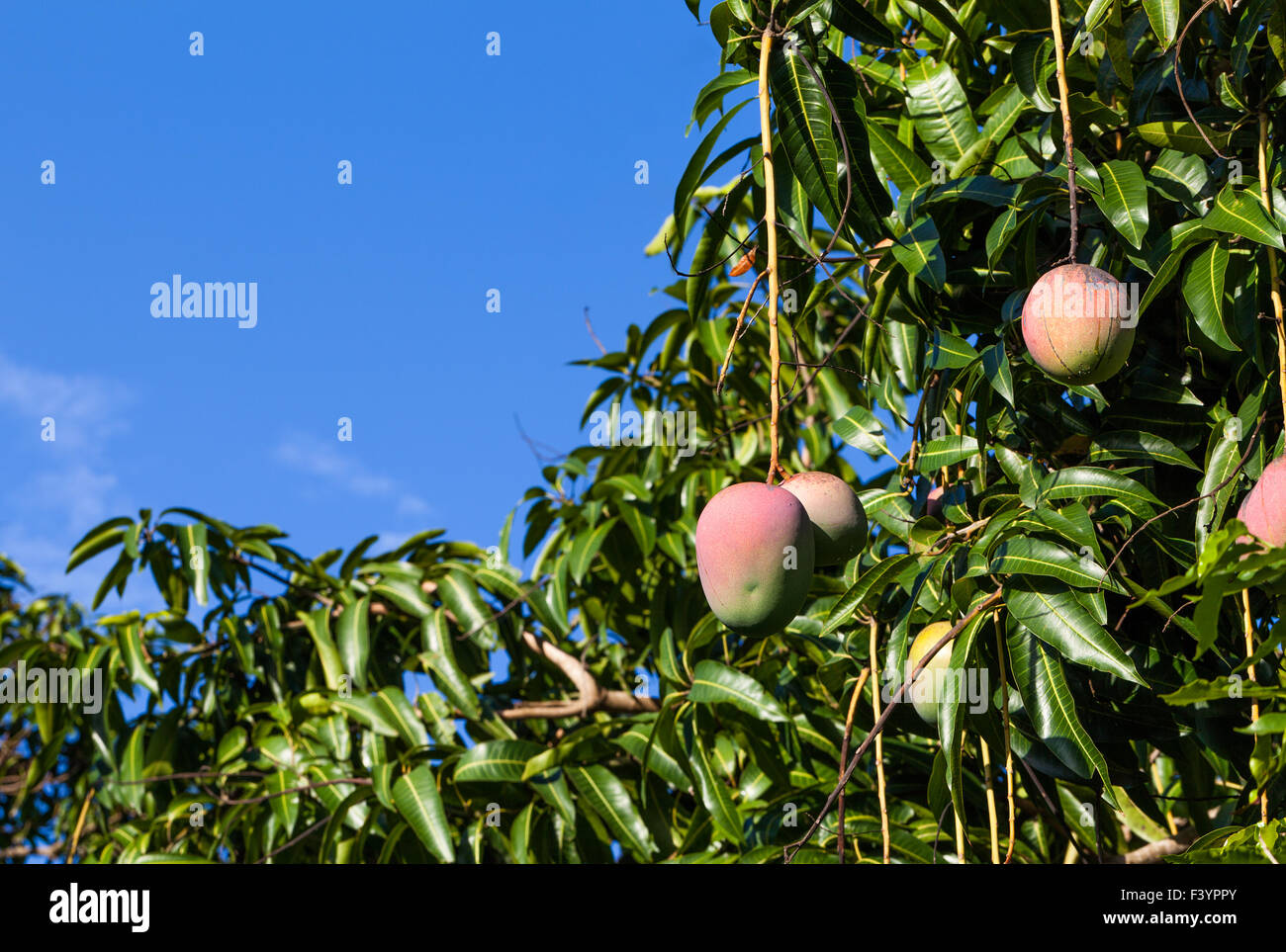 Tree With Fruits Part - 41: Cuba Mango Tree With Fruits