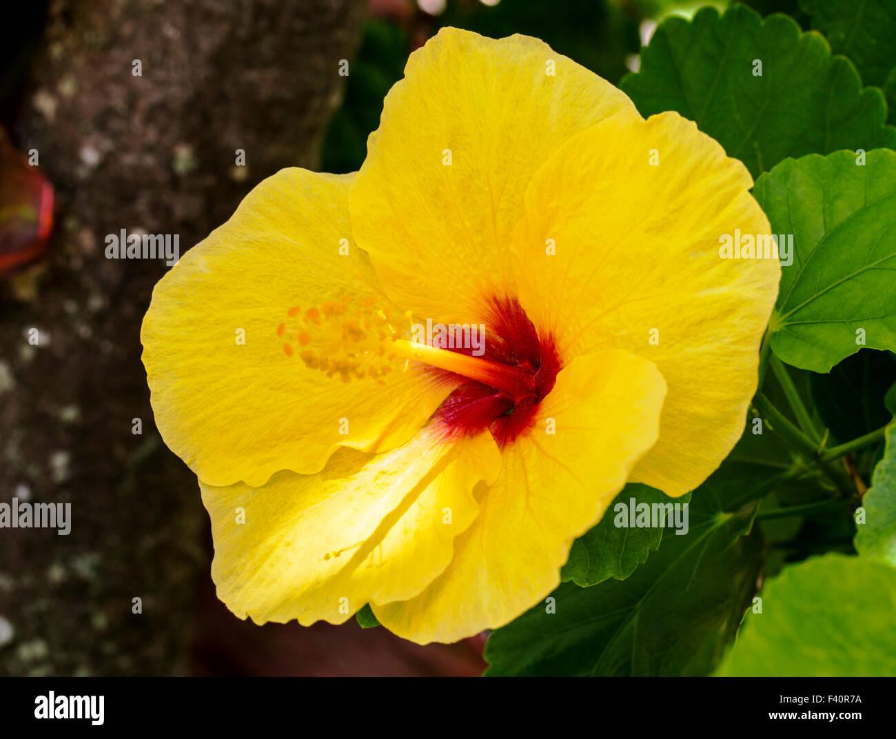 Hawaiian Hibiscus Yellow Hibiscus Hibiscus brackenridgei state Stock