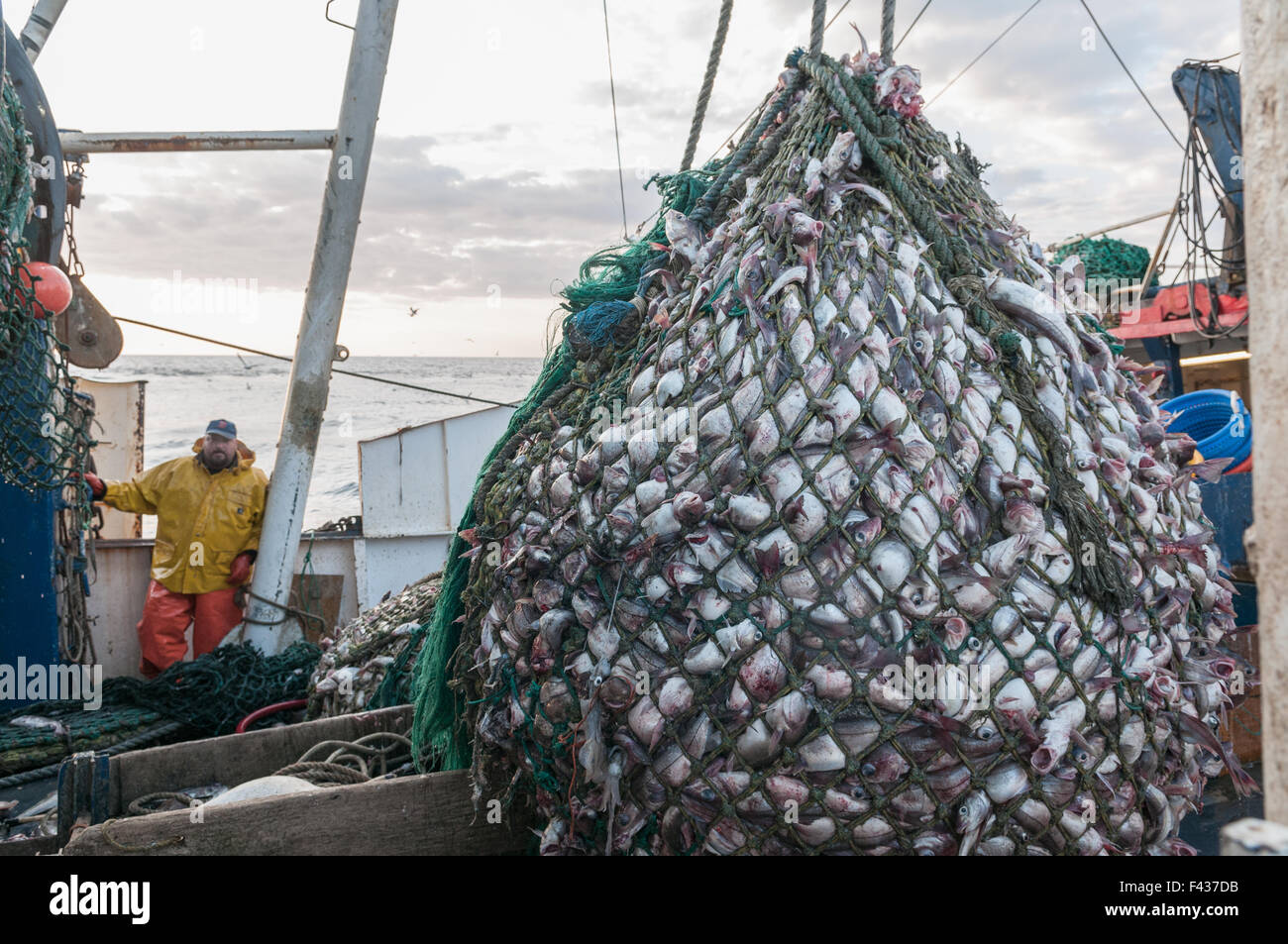 Cod end of fishing trawler net full of haddock georges for Mass commercial fishing