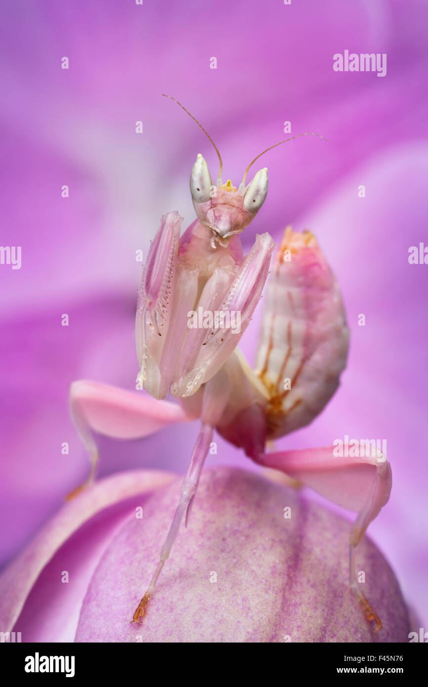 Malaysian orchid mantis hymenopus coronatus pink colour morph malaysian orchid mantis hymenopus coronatus pink colour morph camouflaged on an orchid captive from malaysia dhlflorist Image collections