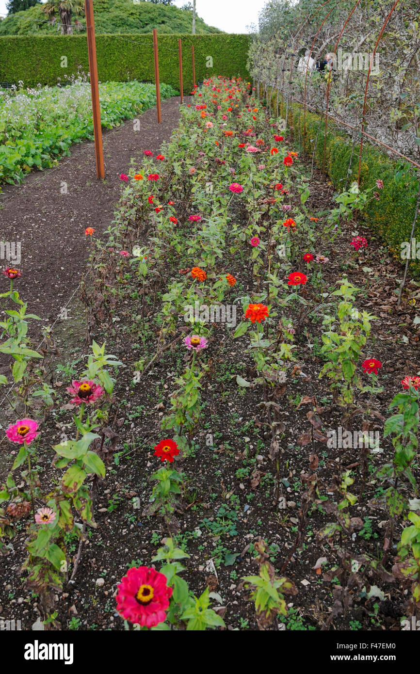 Rows Of Red And Pink Flowers, Companion Planting In The Vegetable Garden,  The Lost Gardens Of Heligan, Cornwall, UK