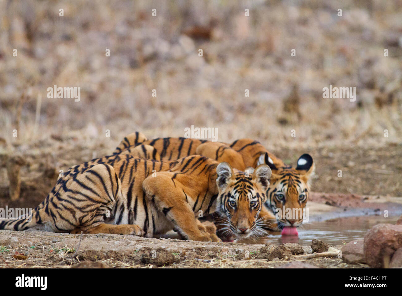 royal bengal tiger Download royal bengal tiger stock photos affordable and search from millions of royalty free images, photos and vectors.