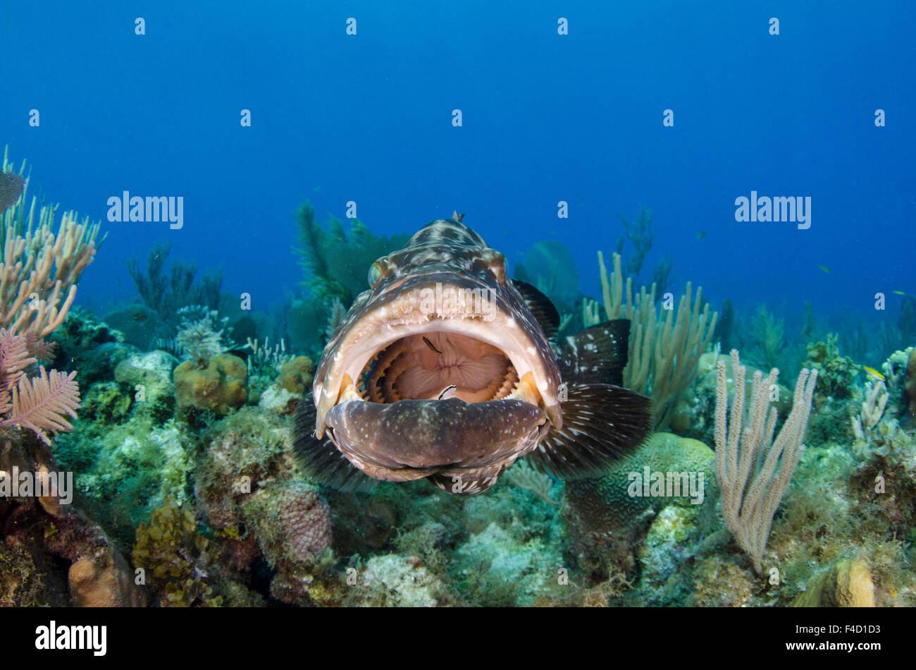 Black grouper mycteroperca bonaci jardines de la reina national stock photo royalty free - Jardines de la reina ...