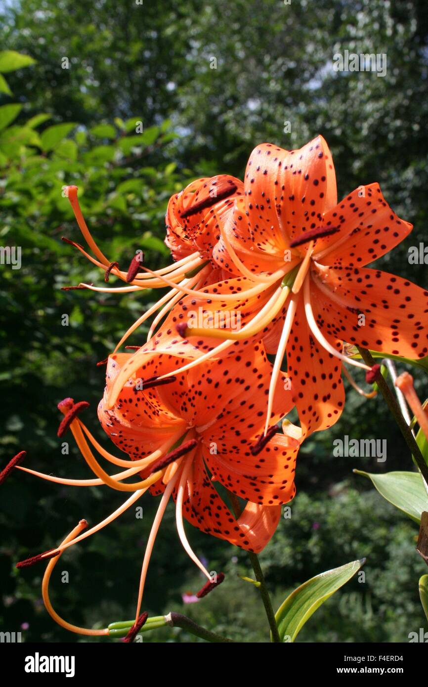 Tiger lilies in garden lilium lancifolium is one of several species tiger lilies in garden lilium lancifolium is one of several species of orange lily flower to which the common name tiger lily i izmirmasajfo Images