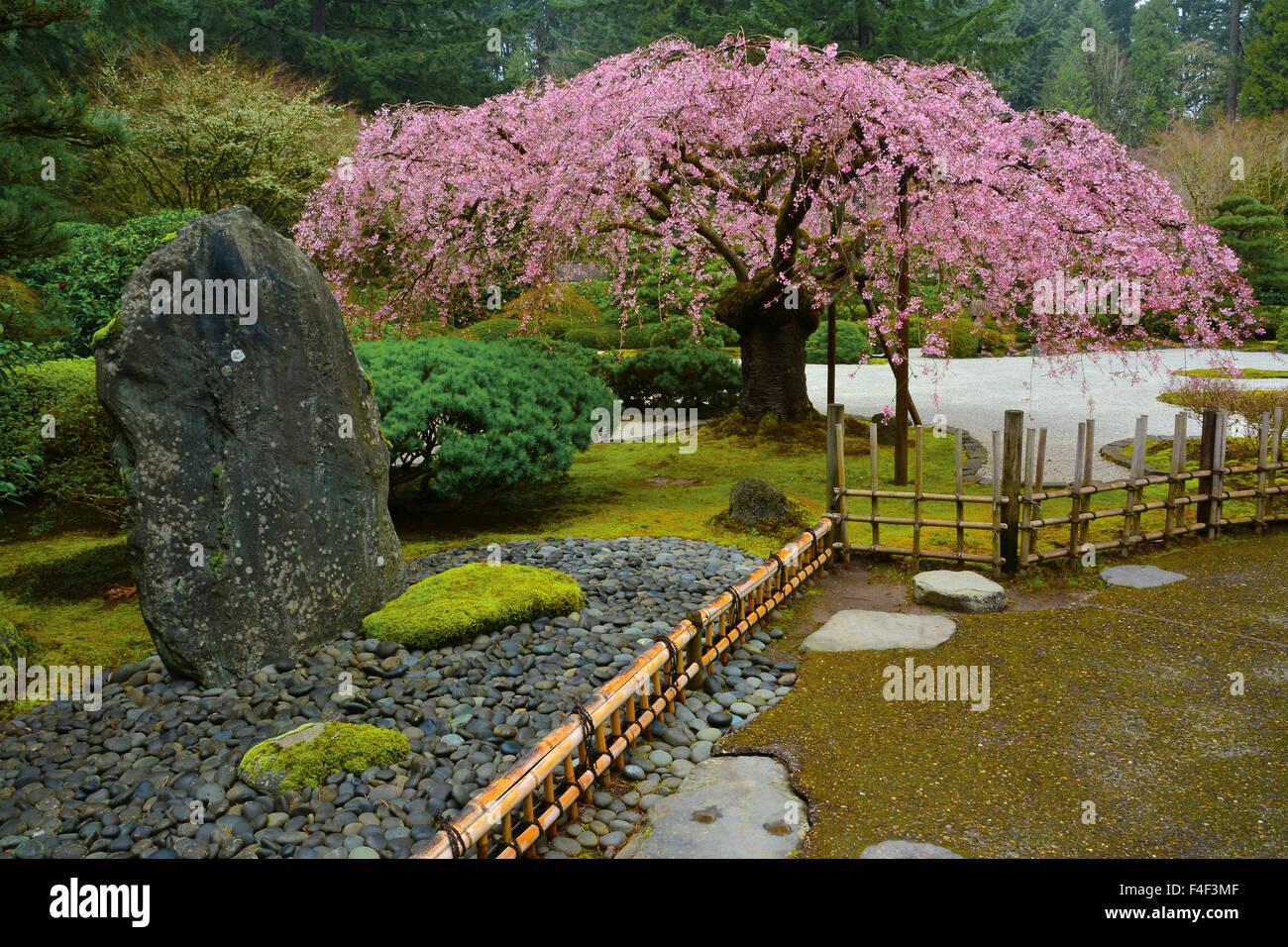 Weeping Cherry Flat Lat Garden Portland Japanese Garden Portland Stock Photo Royalty Free