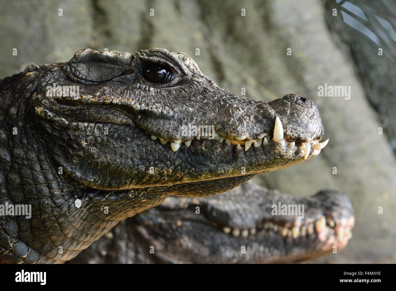 dwarf-crocodile-at-whipsnade-zoo-in-bedf