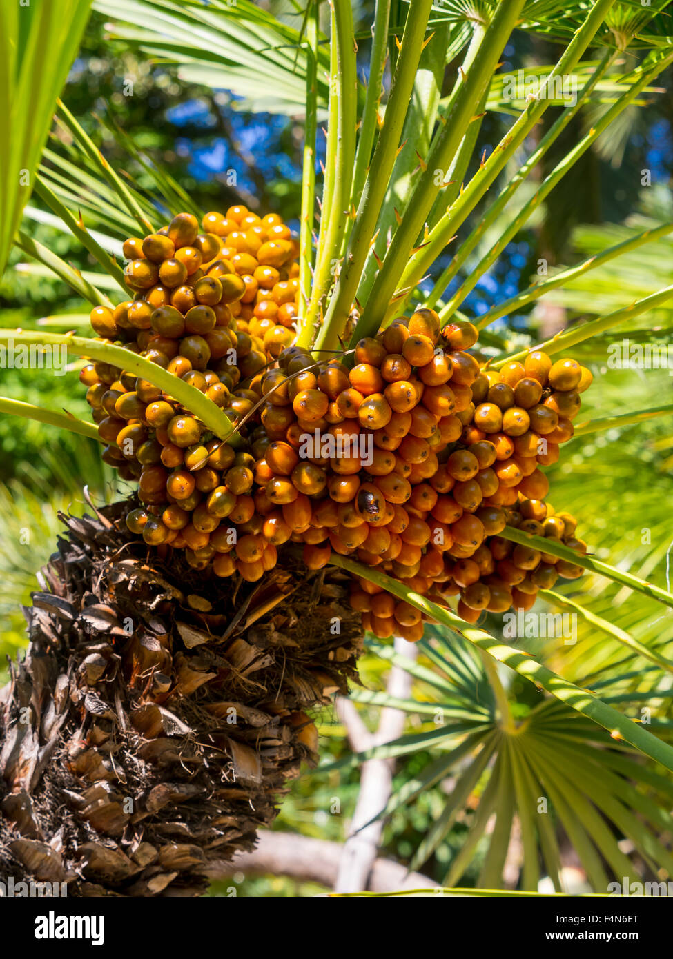 Canary Island Date Palm Fruit