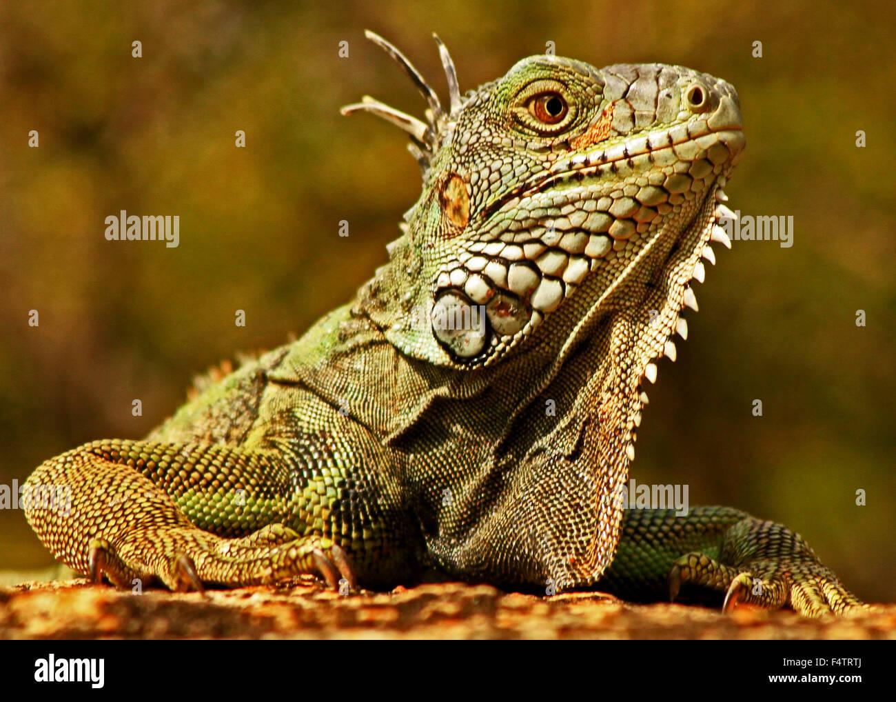 close up of a green iguana in oranjestad aruba stock photo