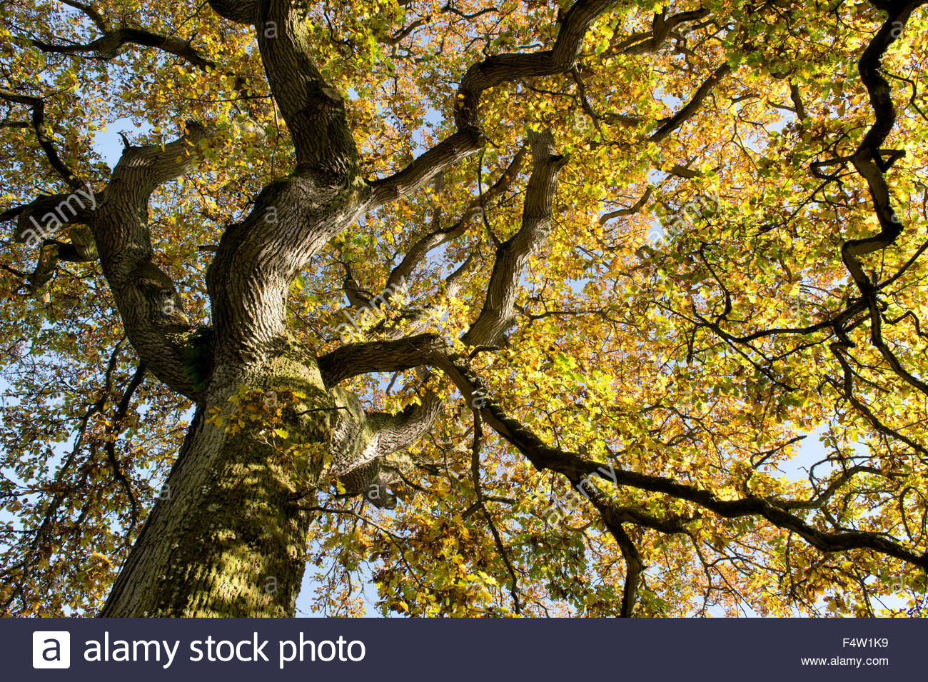 Oak tree leaf canopy in autumn changing colour. UK & Quercus robur. Oak tree leaf canopy in autumn changing colour. UK ...