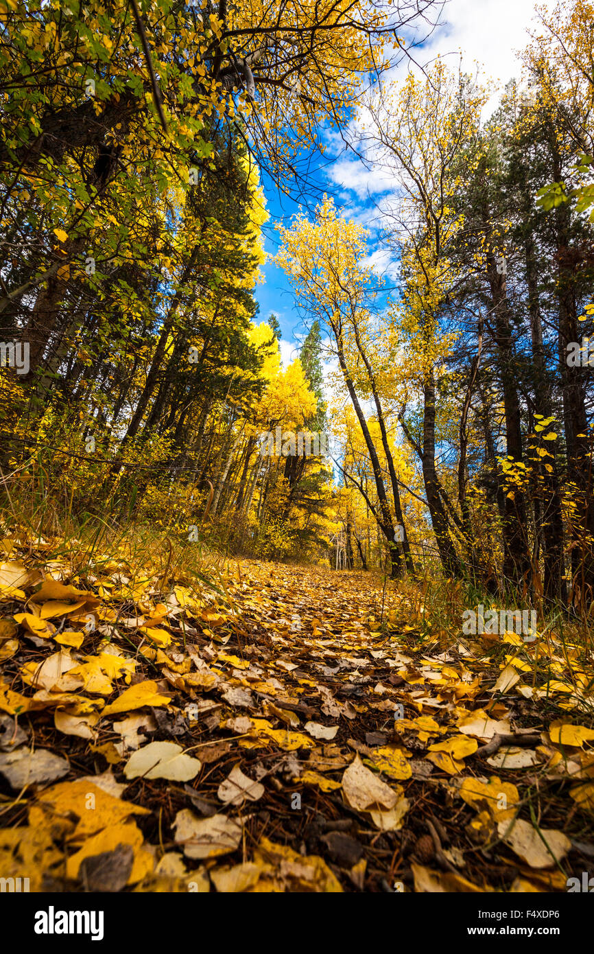 a-path-littered-with-aspen-leaves-along-rush-creek-in-june-lake-in-F4XDP6.jpg
