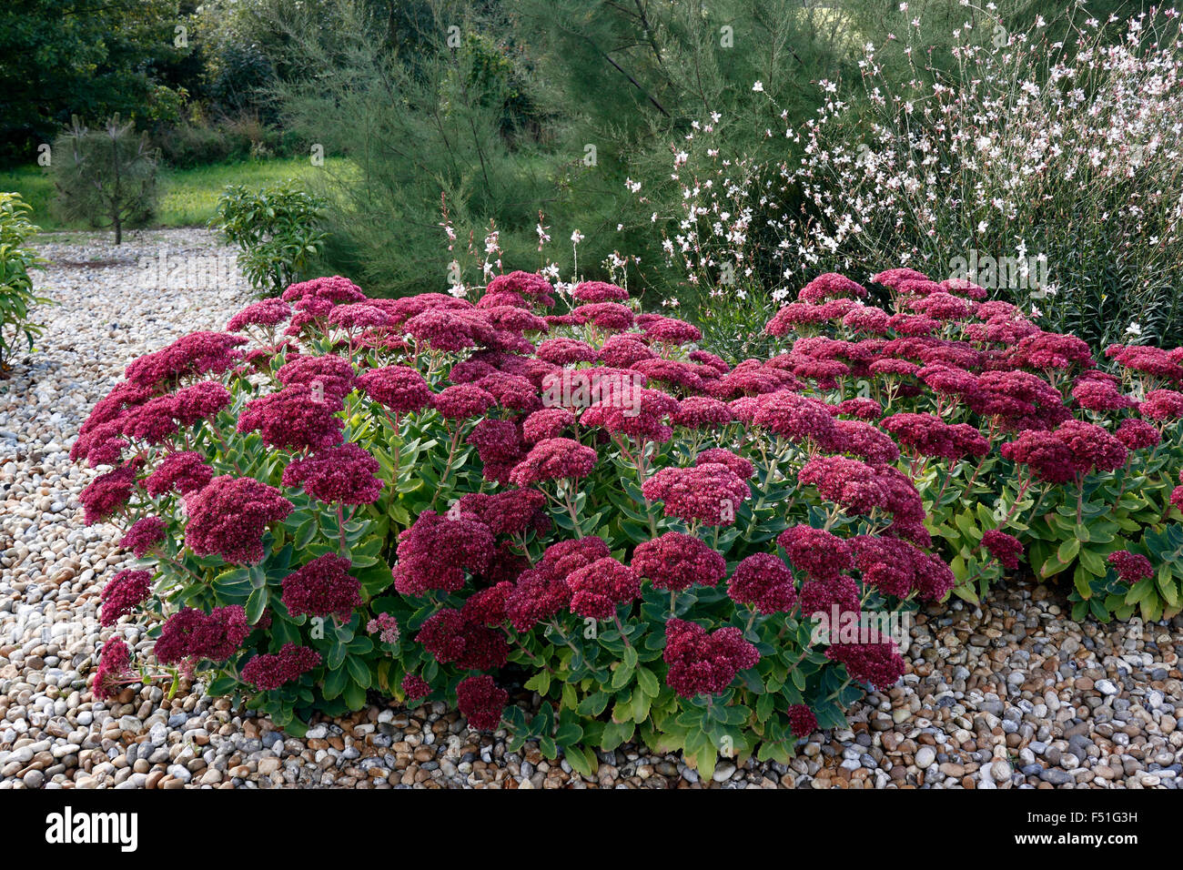 sedum herbstfreude autumn joy stonecrop stock photo 89159717 alamy. Black Bedroom Furniture Sets. Home Design Ideas