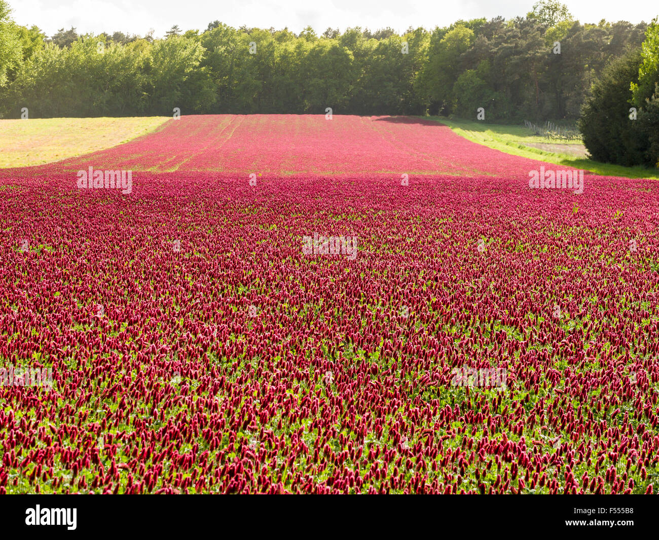 bright red flowers field - photo #14