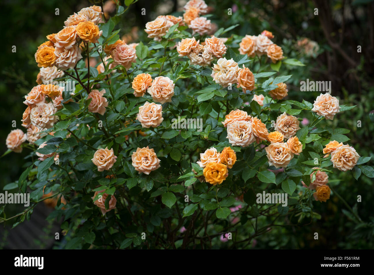 berlin berlin germany rose bush in the garden stock photo royalty free image. Black Bedroom Furniture Sets. Home Design Ideas