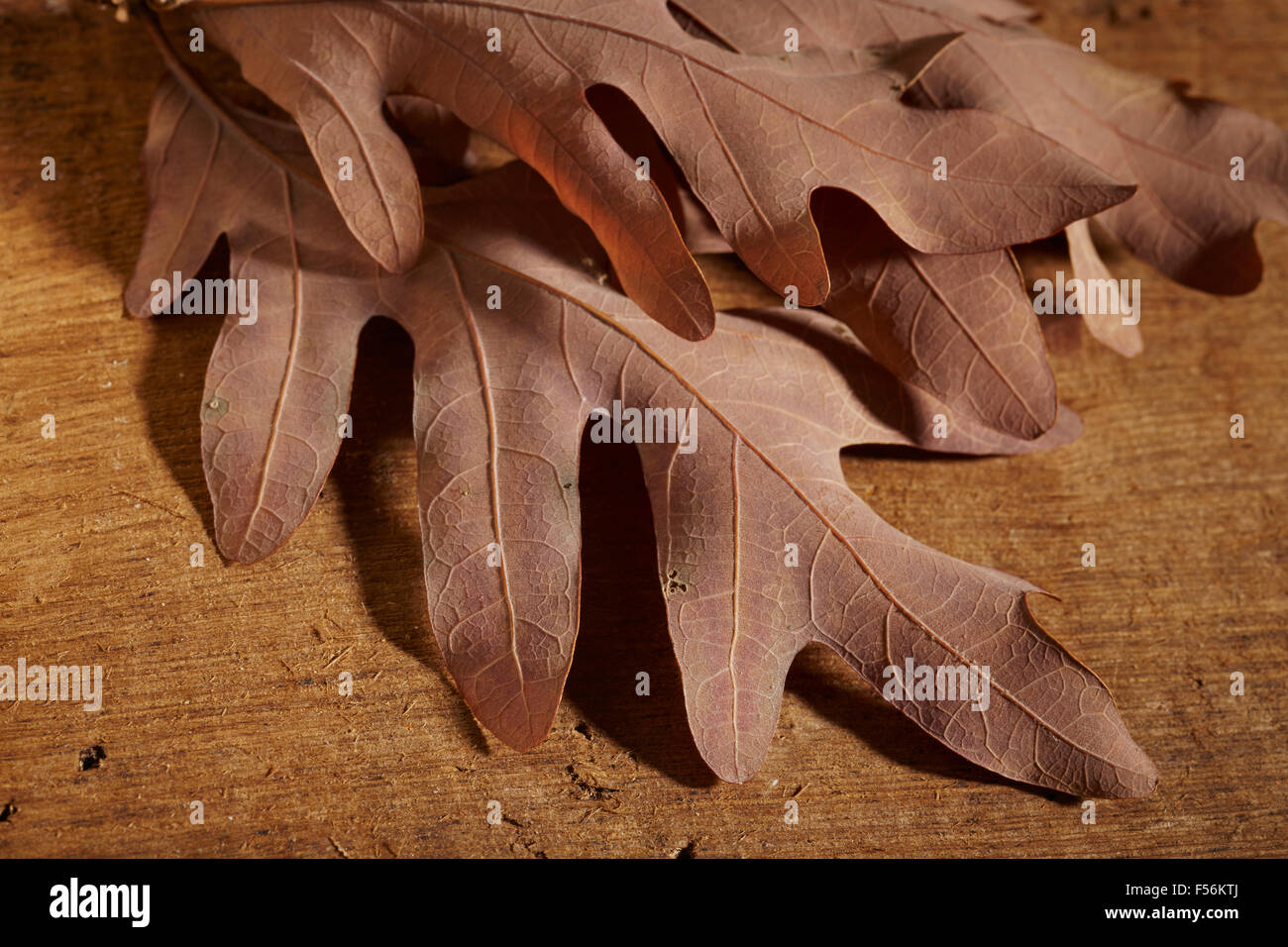 sprig of oak leaves in autumn stock photo royalty free image