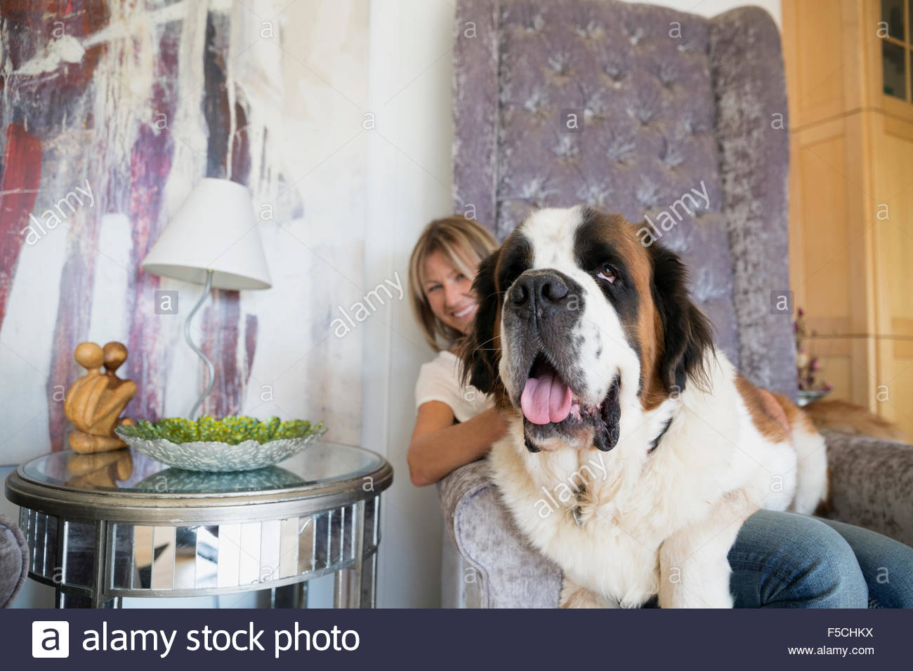Saint Bernard Dog Sitting On Woman S Lap Armchair Stock