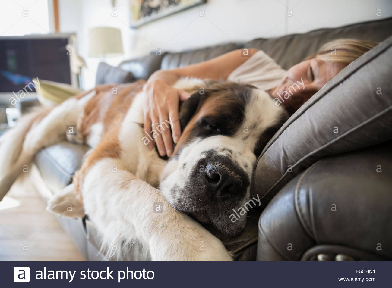 Woman And Saint Bernard Dog Laying On Sofa Stock Photo