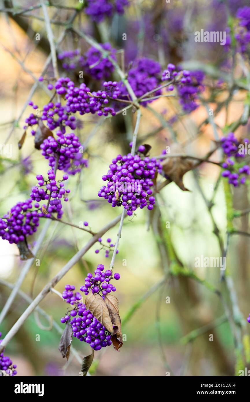 callicarpa bodinieri var giraldii profusion beautyberry stock photo royalty free image. Black Bedroom Furniture Sets. Home Design Ideas