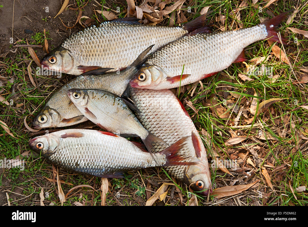 Freshwater fish bream - Pile Of Freshwater Roach Fish And Bream Freshwater Fish As Background Several Of Roach Fish
