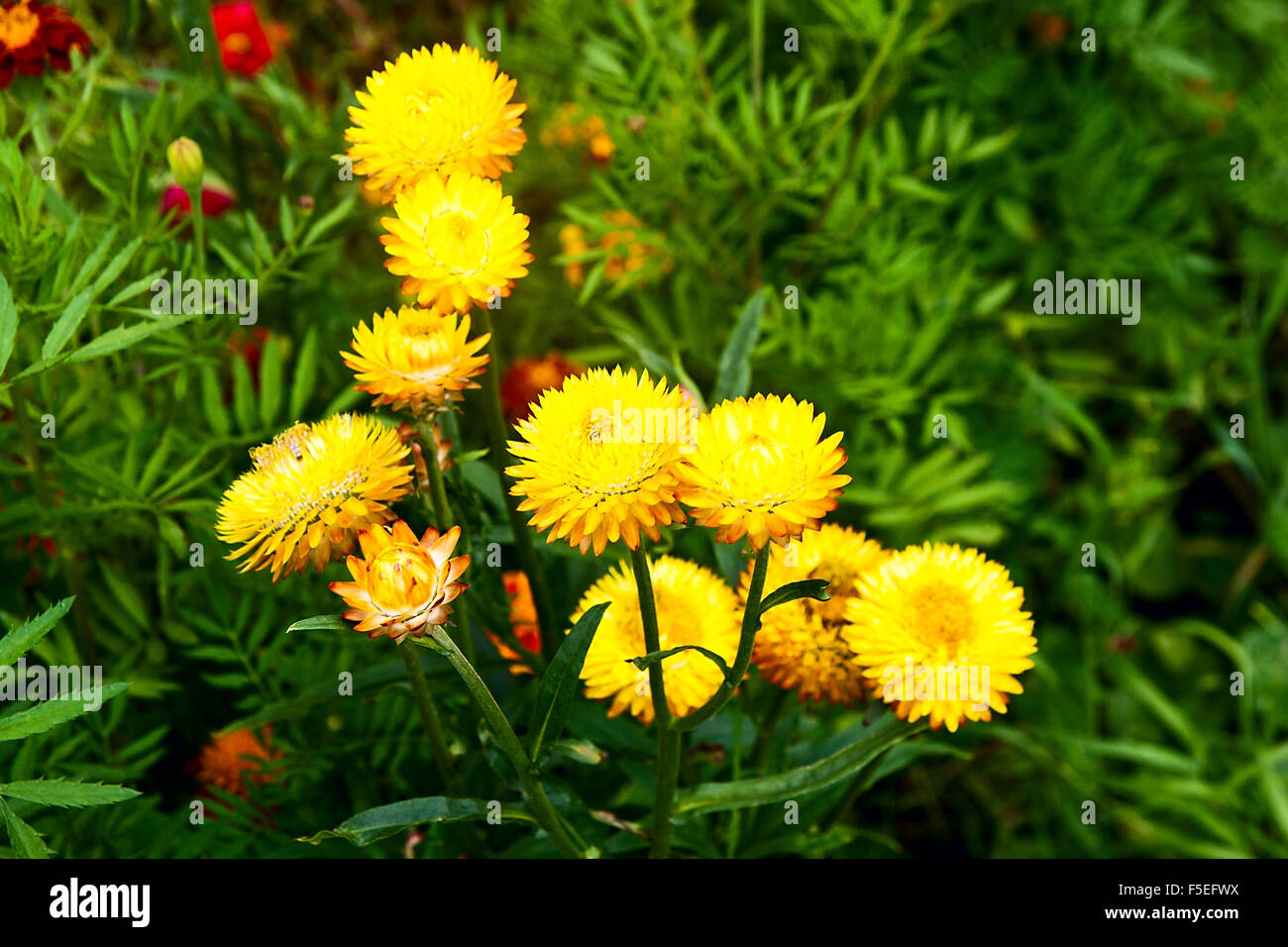 Garden flowers names - Helichrysum Or Straw Flower In Outdoor Garden Yellow Straw Flowers Scientific Name Is Helichrysum Bracteatum