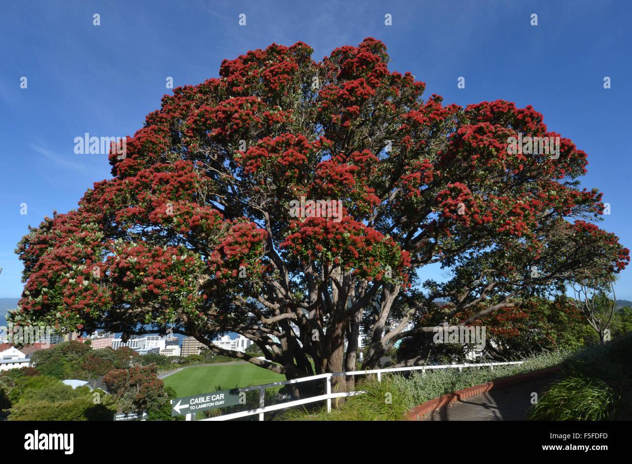 Perfect ... Pohutukawa Tree Or New Zealand Christmas Tree, Metrosideros Excelsa,  Flowering, Endemic, Wellington