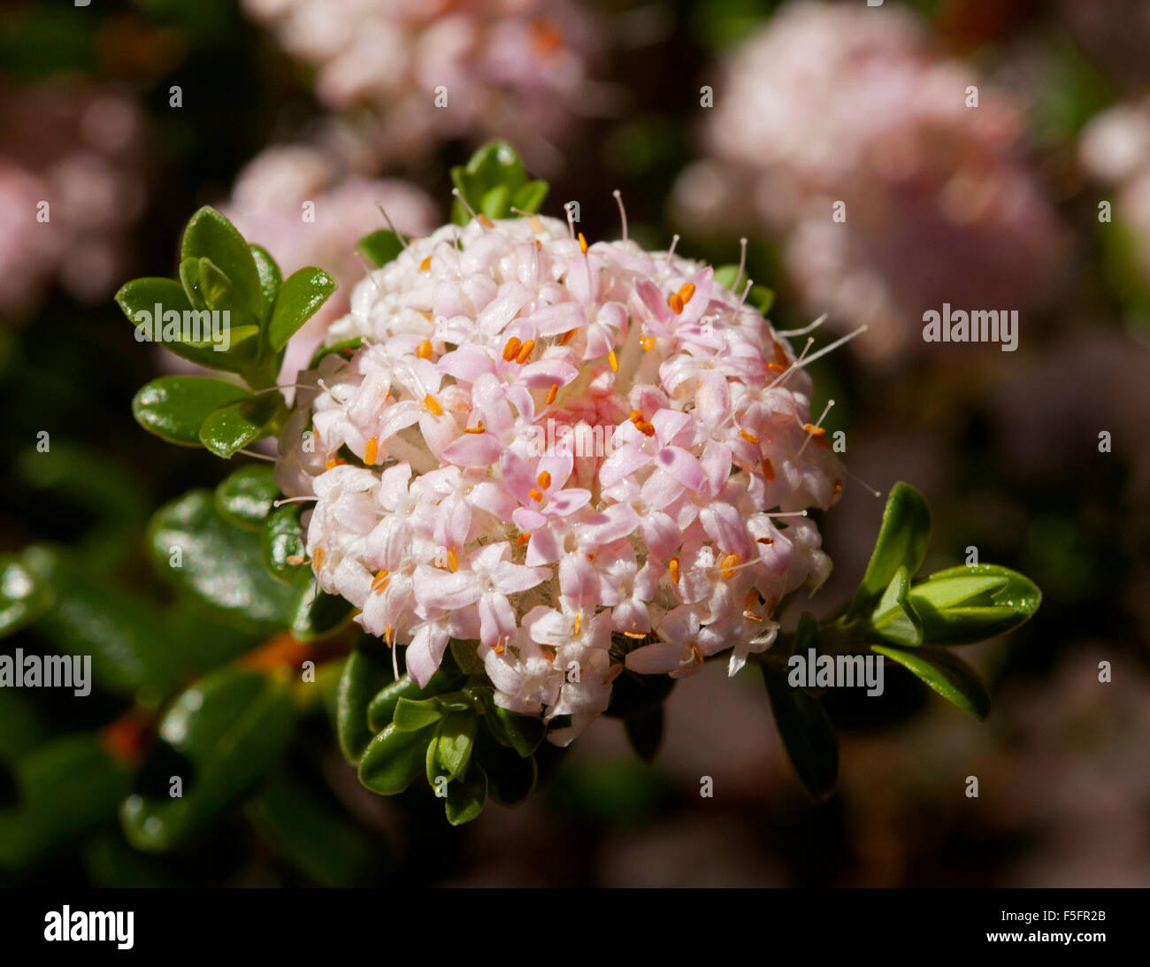 Cluster of small pale pink flowers of australian native shrub cluster of small pale pink flowers of australian native shrub pimelea ferruginea surrounded by dark green leaves dhlflorist Gallery