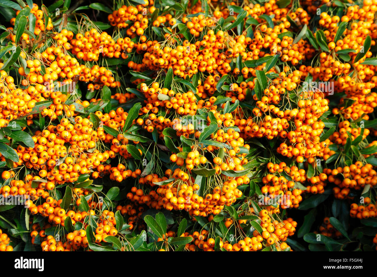 Shrubs to plant in fall - Pyracantha Orange Glow Autumn Berry Berries Garden Plant Shrub Shrubs Plants Fall