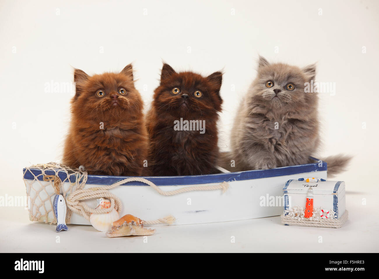 British Longhair Cats, kittens, 9 weeks, chocolate, black and ...