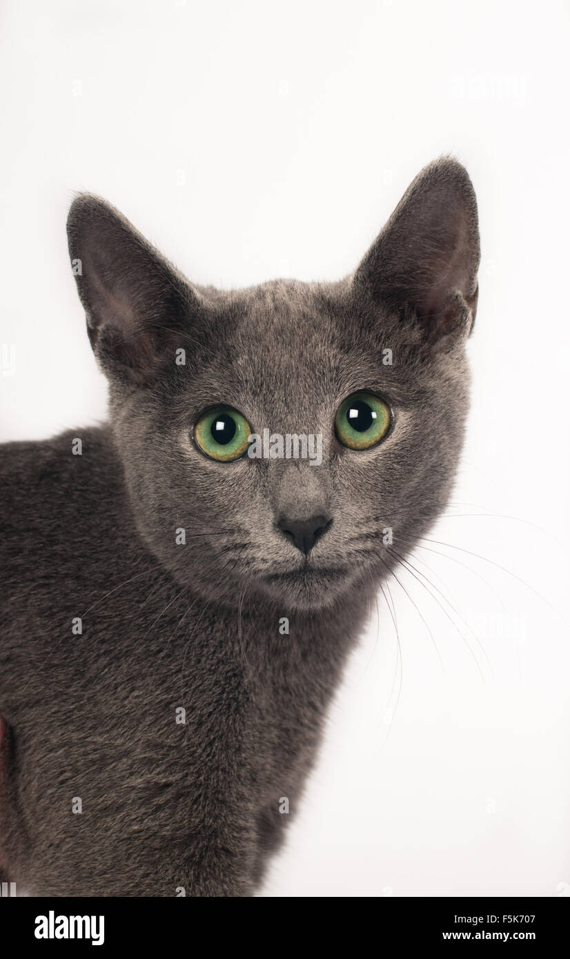 Russian blue purebred kitten Stock Royalty Free Image