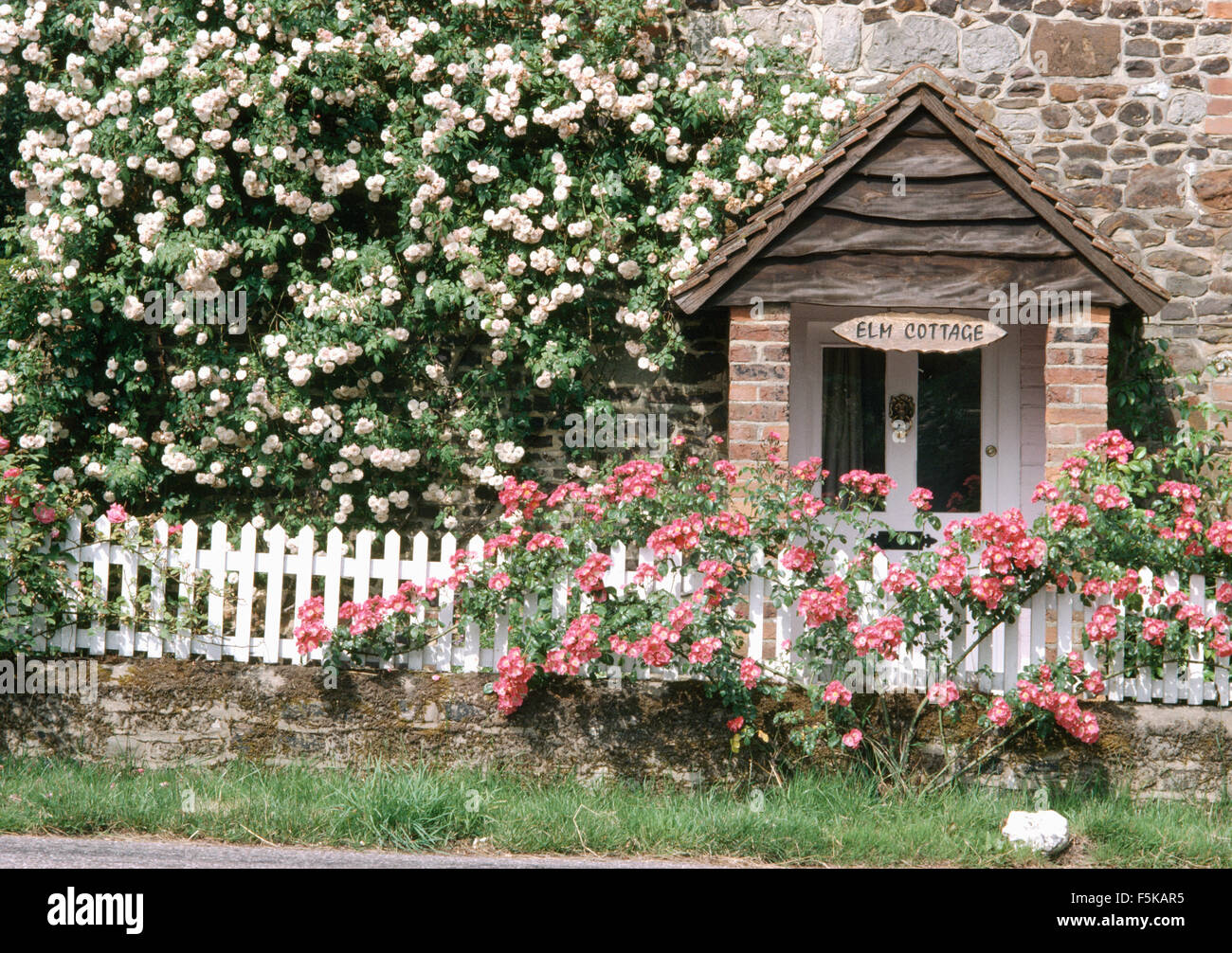 how to grow climbing roses on a fence