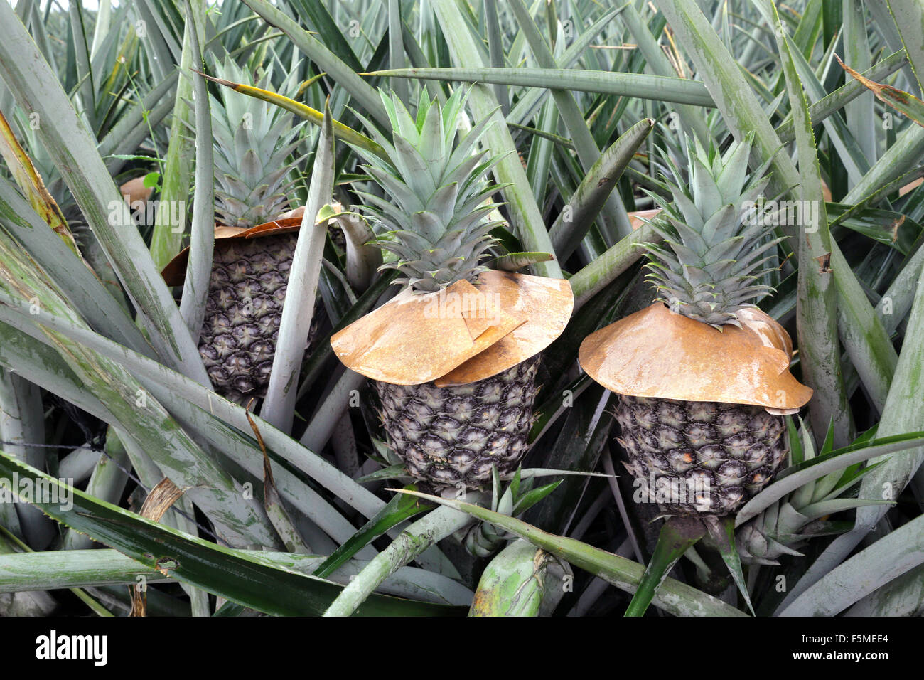 pineapple fruit in a dole pineapple plantation in