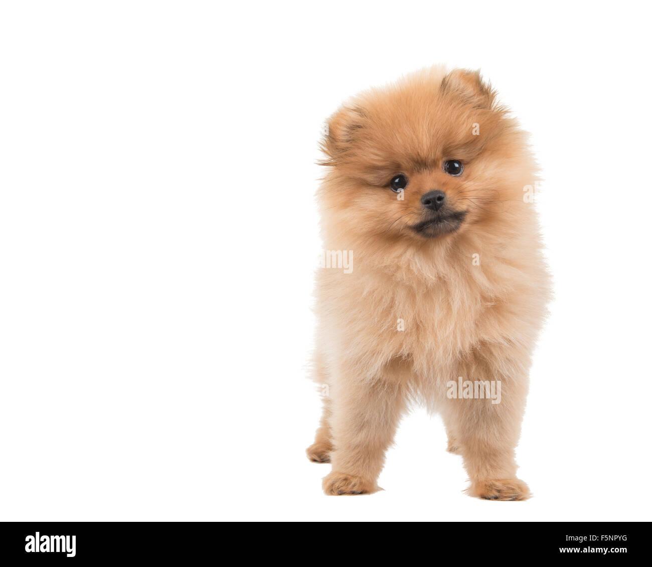 Cute pomeranian puppy Stock Royalty Free Image