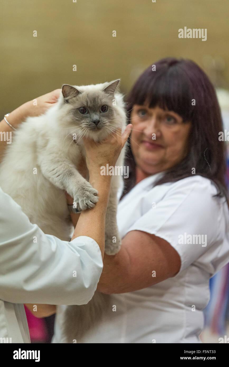British ragdoll cat club