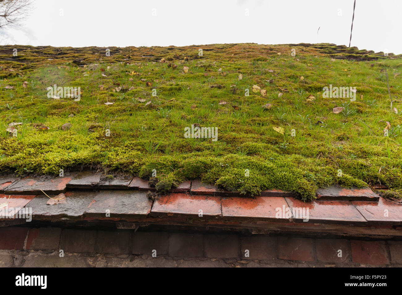 House Roof Leaking old barn house roof coated in a thick layer of moss retaining