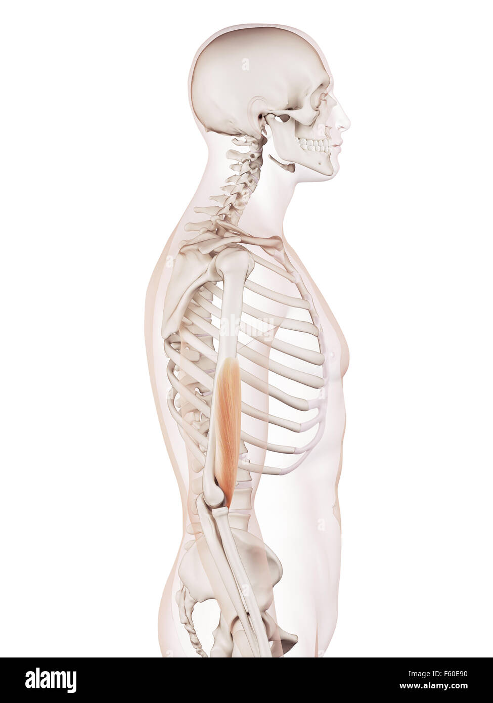 Niedlich Organe Von Körperbild Ideen - Anatomie Ideen - finotti.info