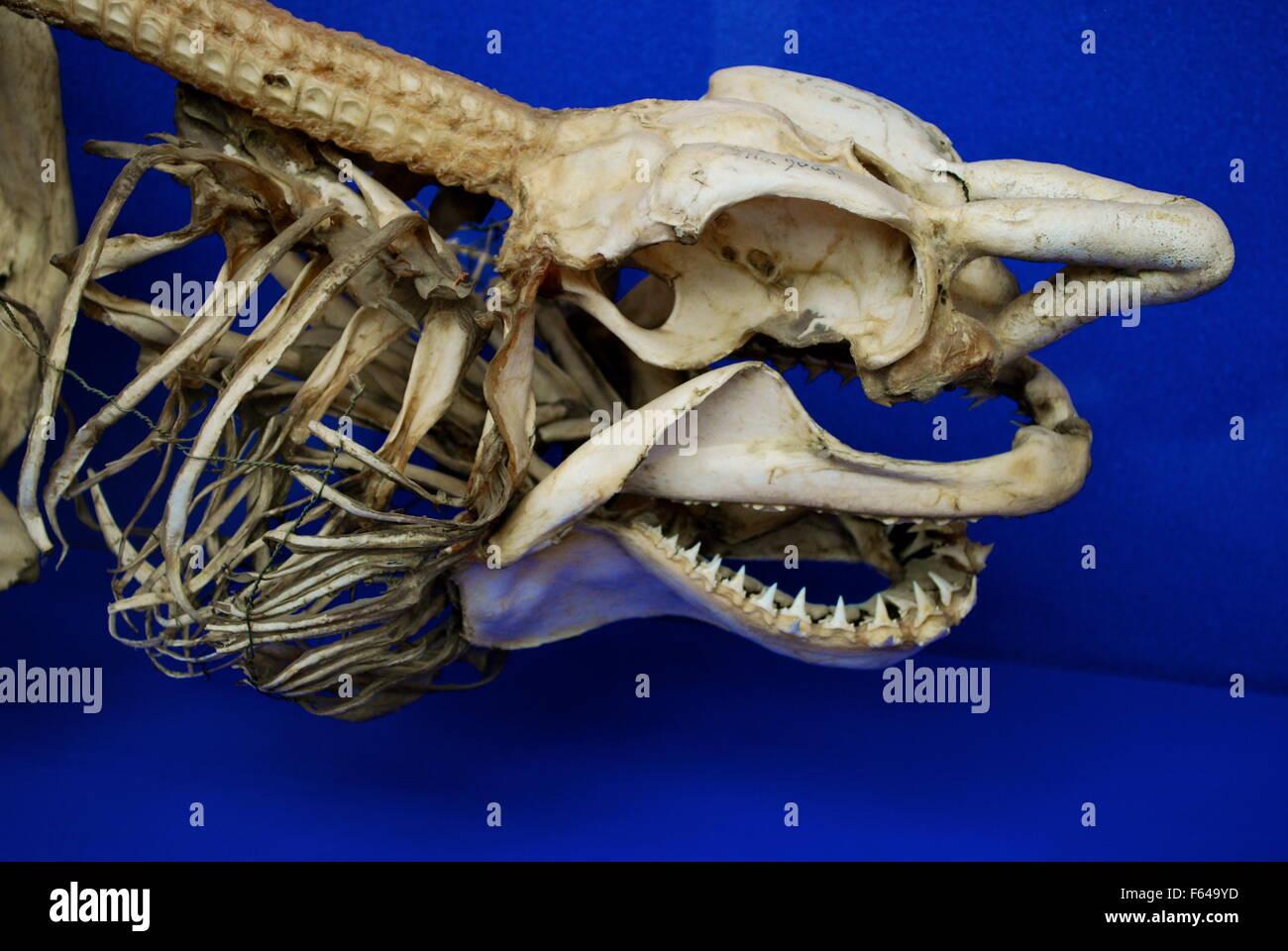 Shark skeleton, Oxford University Museum of Natural History Stock Photo, Royalty Free Image ...