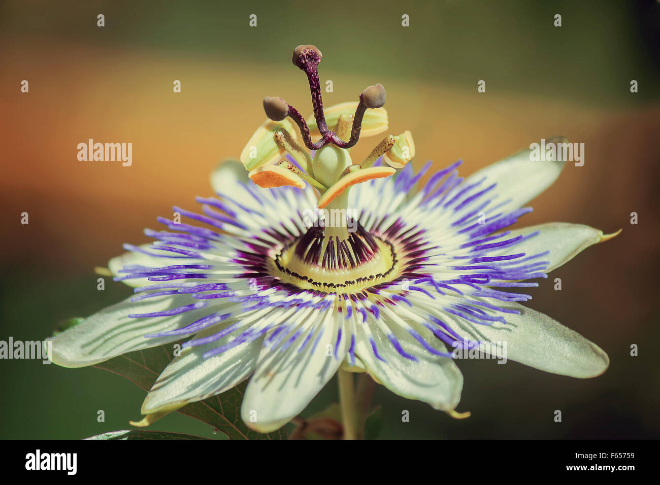 Beautiful white passion flower with corolla lilac petals around beautiful white passion flower with corolla lilac petals around the pistil and stamens presented on dhlflorist Images