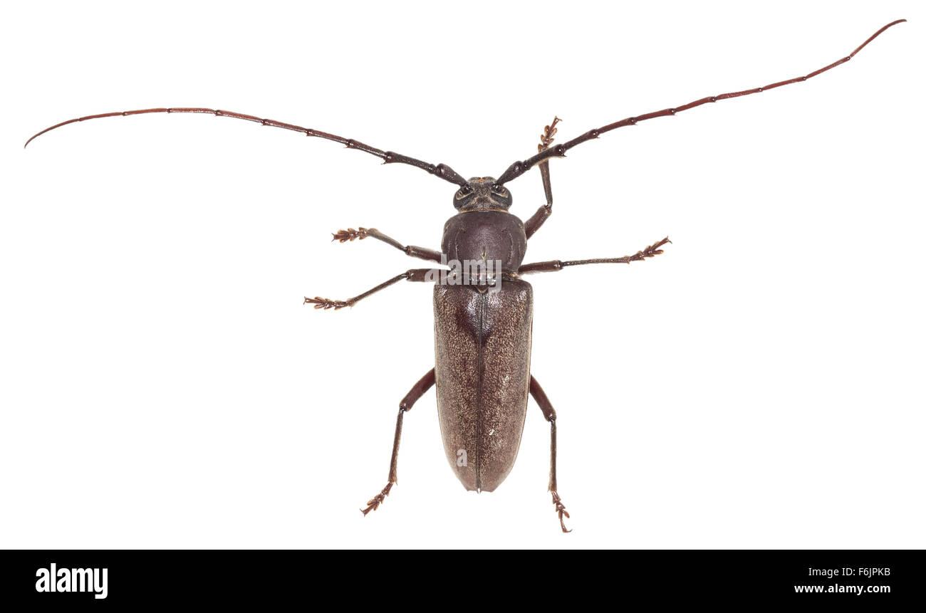 Long horned wood boring beetle with very long antennae  Long horned wood  boring beetle with. Bug With Long Antennae   louisvuittonukonlinestore com