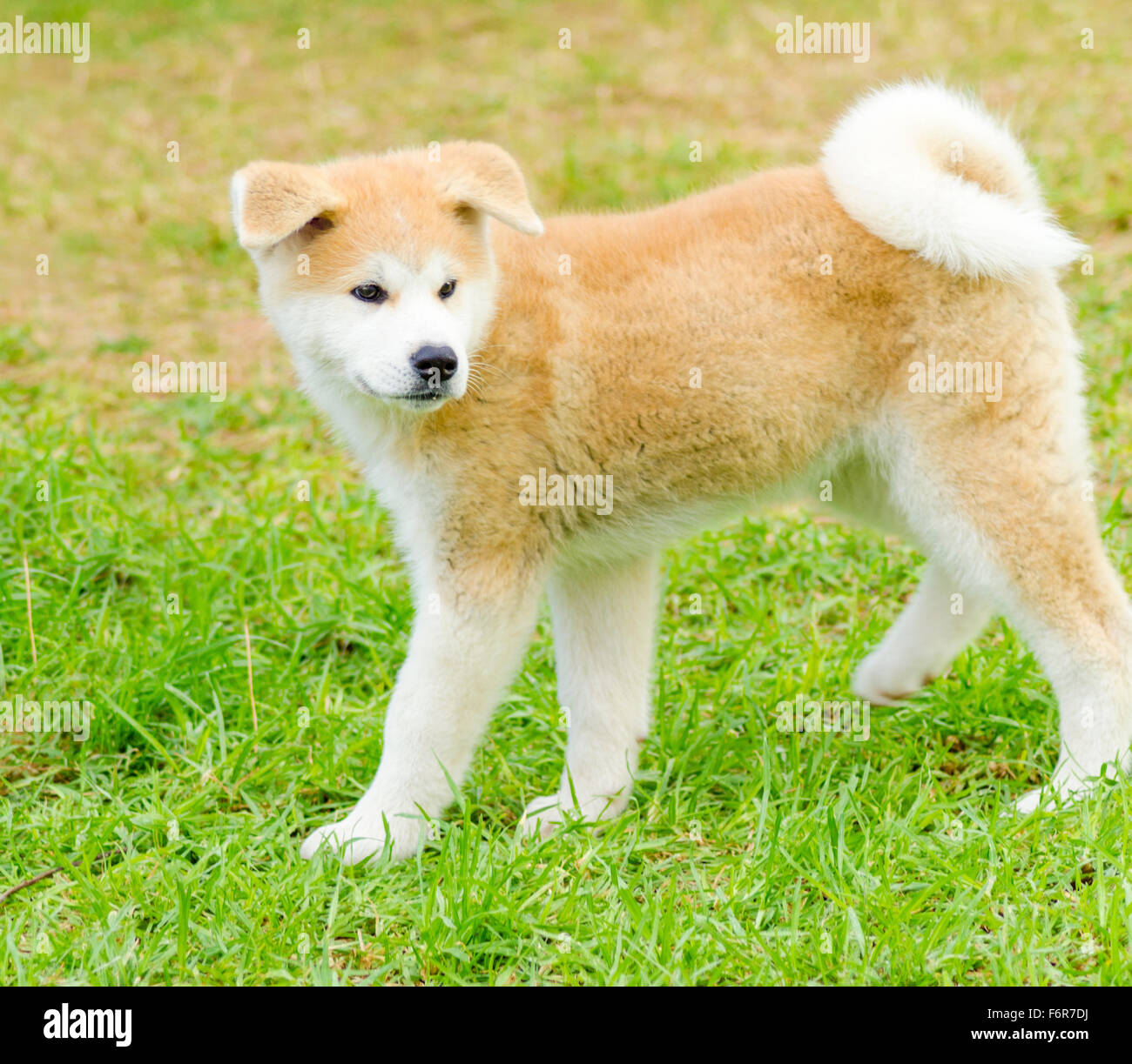 Red Beautiful Akita Inu Collection 11 Wallpapers