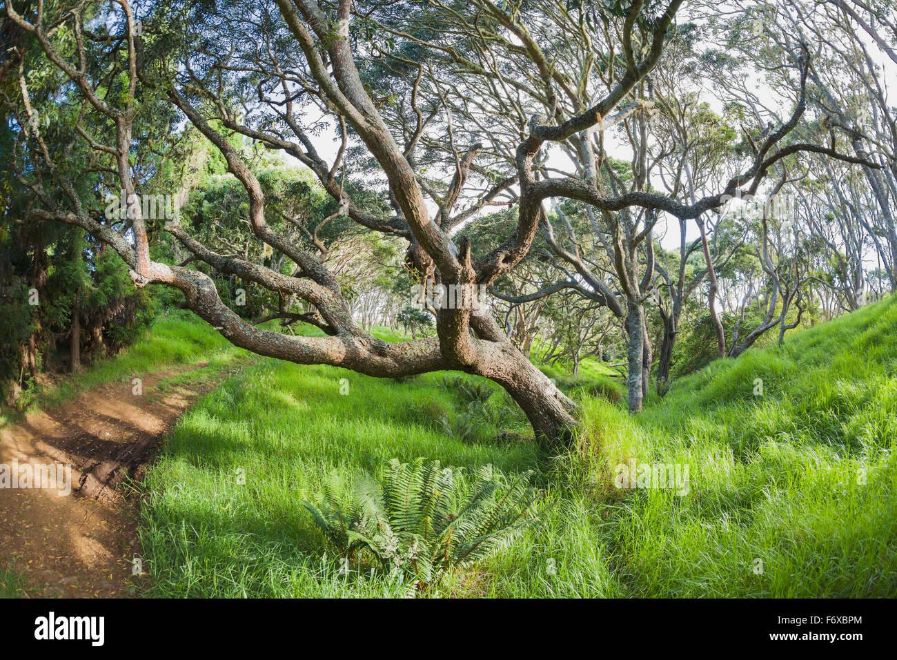 Koa Trees Koa Acacia In Keanakolu State Park Along Mana